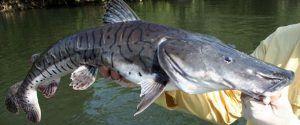 fish_jau_cachara