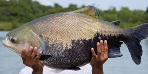 tambaqui top fishing